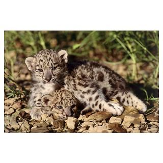 Close up of Snow Leopard cubs (Panthera uncia) Poster
