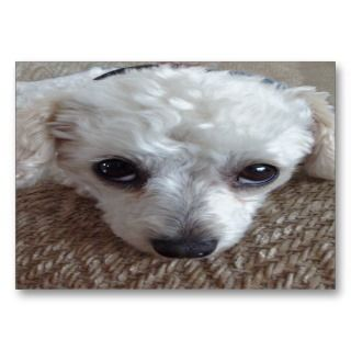 Little White Teacup Poodle Dog Business Card