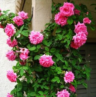 Zephirine Drouhin Nearly Thornless Climbing Rose Own Root Plant
