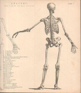 C1885 Antique Medical Print Anatomy Human Skeleton