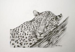 Leopard Sarah Stribbling Original Pencil Drawing