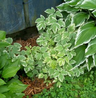 Live Plants ~ SNOW ON THE MOUNTAIN ~ Bright Shade Beauty ~ buy more to