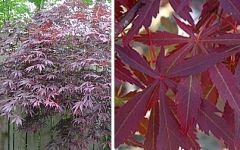 Japanese Maple Tree Collection 4 Varieties Save 33