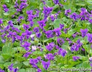 Violets Purple Perennial Ground Cover flower Royal Robe Marsh Plant