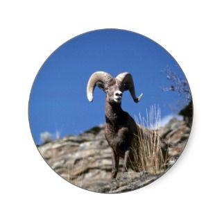Bighorn sheep (Ram alert on face of mountain cliff Round Sticker