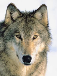 Close Up of Gray Wolf Head in Nature Photographic Print