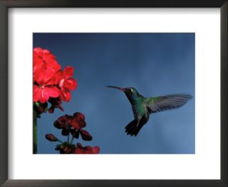 Broad Billed Hummingbird Flying Next to Flowers Pre made Frame