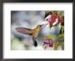 Purple Throated Mountaingem Hummingbird, Monteverde Cloud Forest Preserve, Costa Rica Pre made Frame