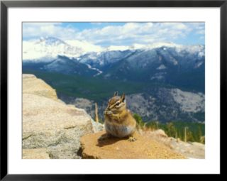 Least Chipmunk, Rocky Mountains, Colorado Pre made Frame