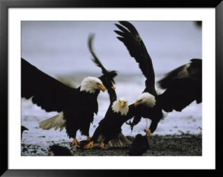 A Group of American Bald Eagles Fight over Food Pre made Frame