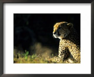 Cheetah, Phinda Resource Reserve, South Africa Pre made Frame