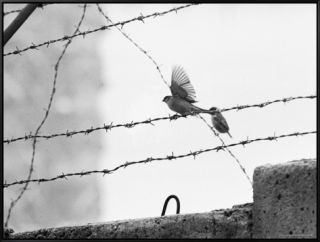 Sparrow Landing on Barbed Wire Atop the Berlin Wall Framed Canvas Print by Paul Schutzer