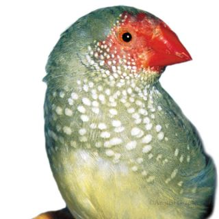 Star Finch   Bird   Live Pet