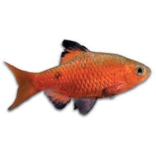 Rosy Barb   Fish   Live Pet