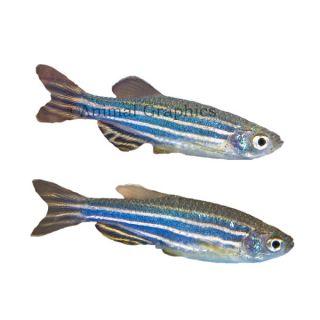 Zebra Danio   Fish   Live Pet