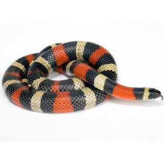 Pueblan Milk Snake   Reptile   Live Pet
