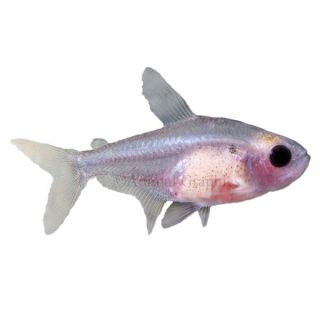 Red Belly X Ray Tetra   Tropical   Fish