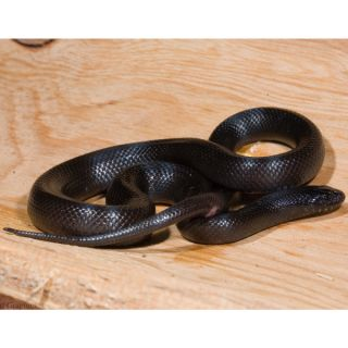 Mexican Black King Snake   Reptile   Live Pet
