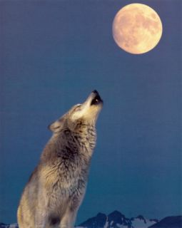 Gray Wolf Howling at Moon Print