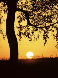 Silhouette of Birch Tree and Setting Sun, Bavaria, Germany, ope Photographic Print by Jochen Schlenker