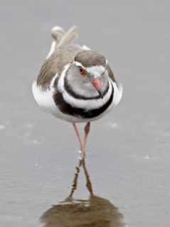 Three Banded Plover (Charadrius Tricollaris), Kruger National Park, South Africa, Africa Photographic Print by James Hager