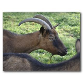 French alpine goat postcard