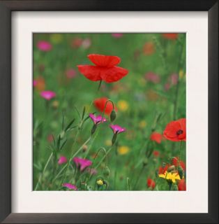 Wild Flowers, Including Poppy and Corncockle, Cultivated for Seed, Netherlands Posters by Niall Benvie