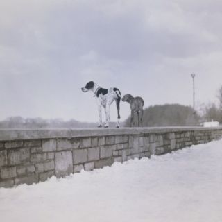 Two dogs standing on a wall ing observant Photographic Print by M. Neugebauer