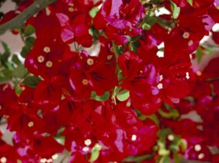 Close Up of Pink Bougainvillea Flowers, Andalucia, Spain Photographic Print by Jean Brooks