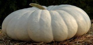 Flat white boer pumpkins are a rich white to cream colour with a