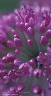 Flowers 2011 Pocket Planner (Calendar)