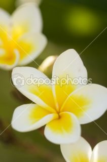 Yellow Plumeria Flowers on the Tree  Stock Photo © Andy Dean